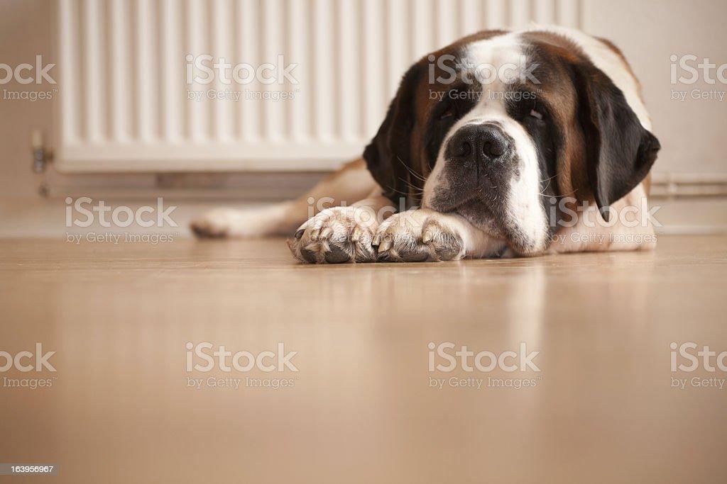 Saint Bernard Dog Resting stock photo
