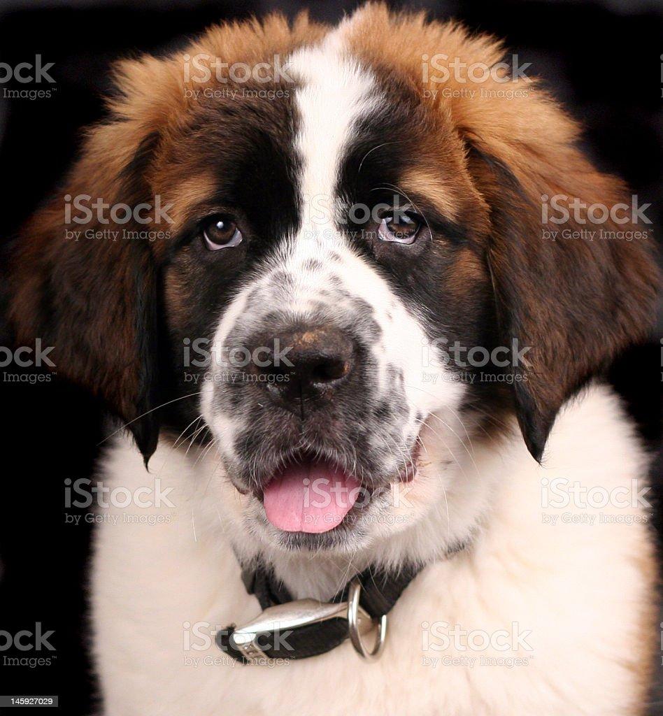 Saint Bernard Portrait royalty-free stock photo