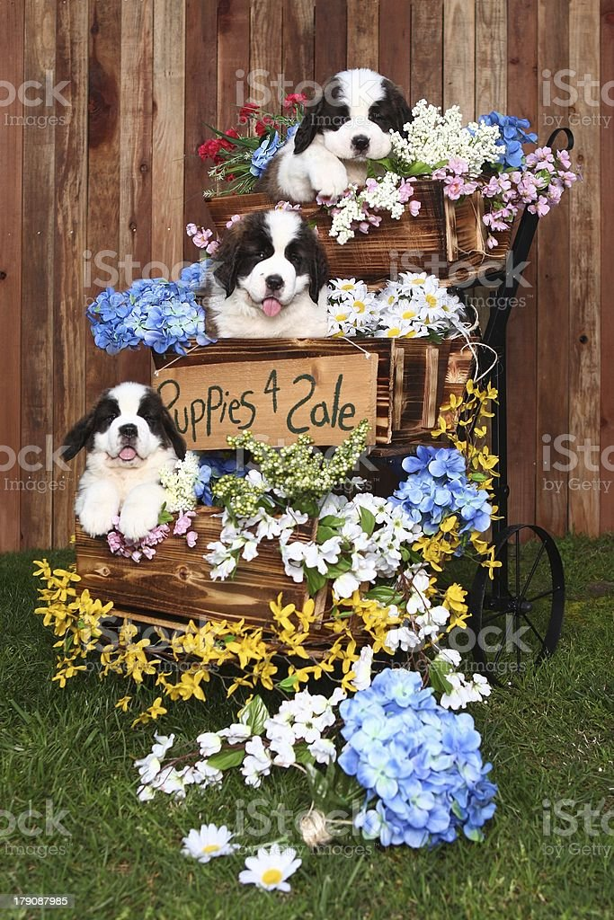 Saint Bernard Puppies for Sale royalty-free stock photo