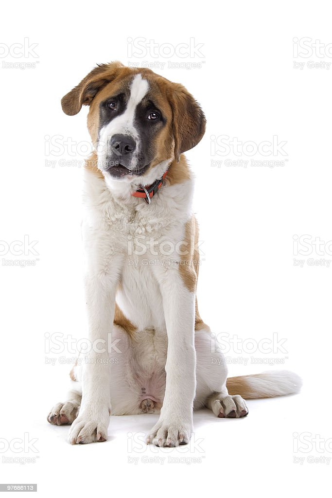 Saint Bernard puppy (12 months) in front of white background stock photo