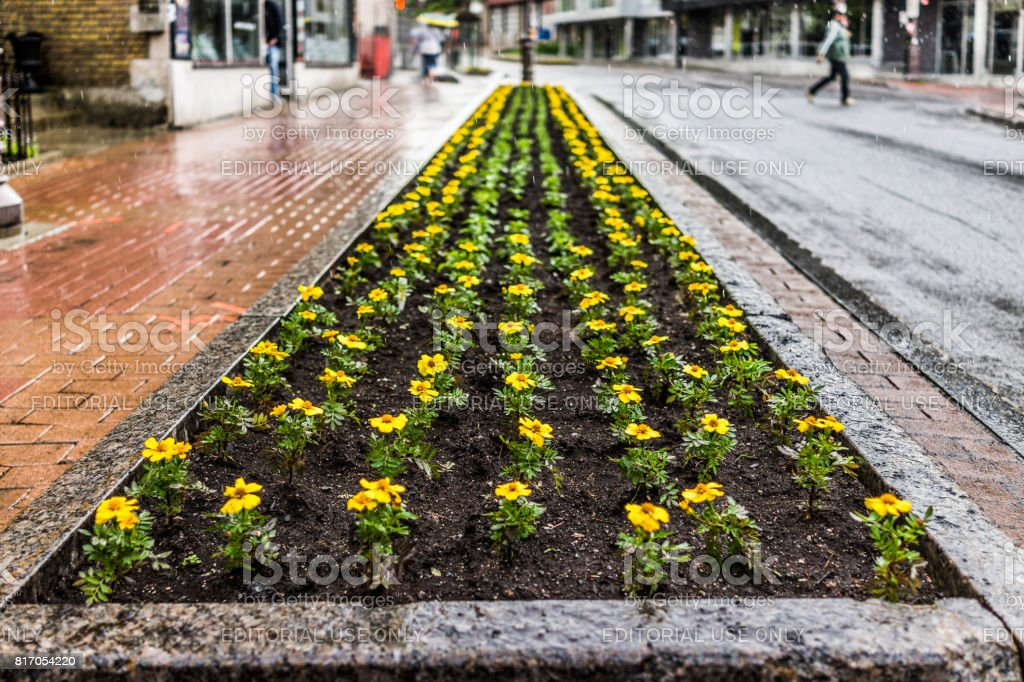 Saint Jean Baptiste Limoilou area with landscaped yellow marigold flower bed stock photo