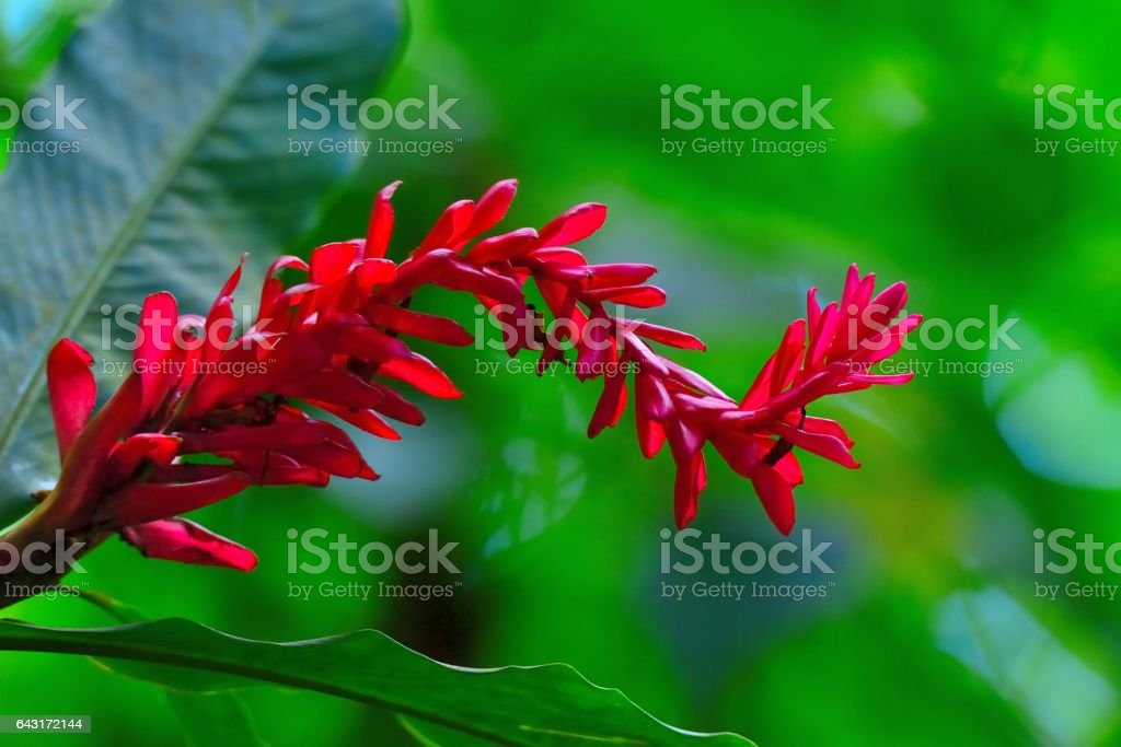 Saint Lucia Red Ginger stock photo