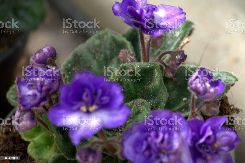 Saint paulia, violeta africana - Foto de stock de Flor royalty-free