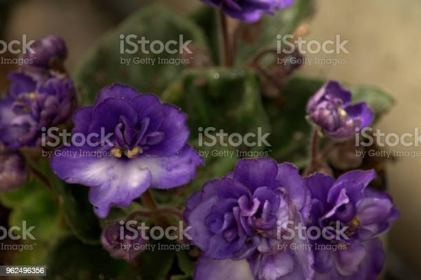 Foto de Saint Paulia Violeta Africana e mais fotos de stock de Flor