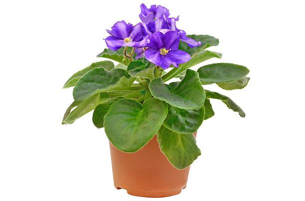Saintpaulia flower in flowerpot stock photo