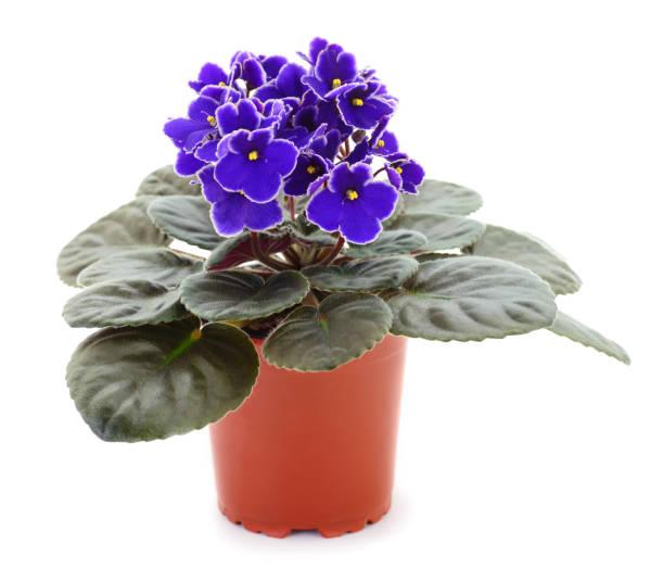 Saintpaulia in a pot stock photo