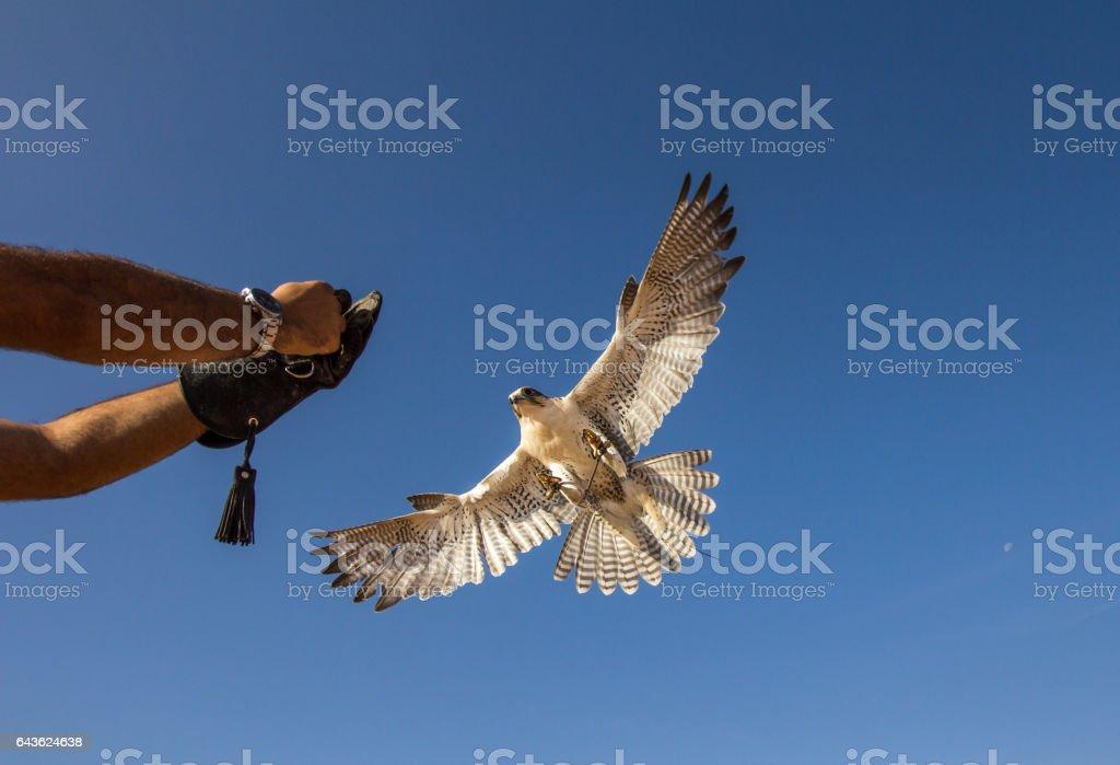 Saker falcon (falco cherrug) during a desert falconry show in Dubai, UAE. stock photo