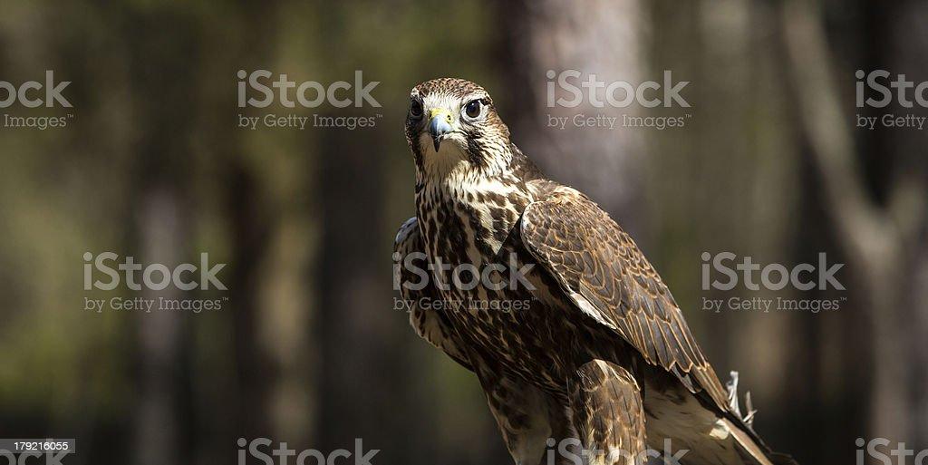 Saker Falcon royalty-free stock photo