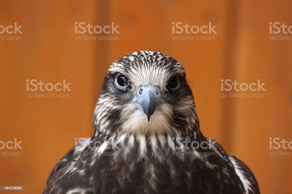 Saker falcon (Falco cherrug). stock photo