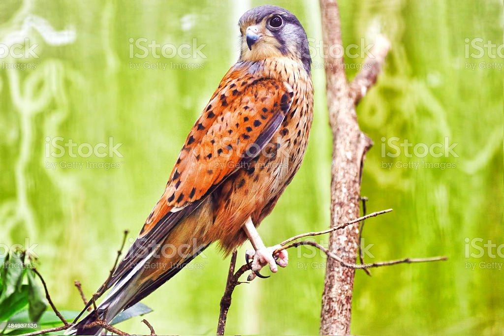 Saker falcon. stock photo