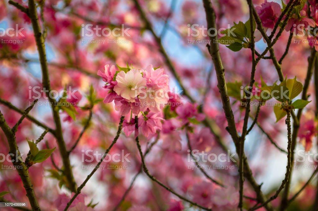 Sakura and Hanami at Ueno Park Tokyo stock photo