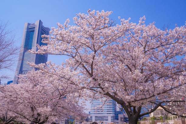 sakura and yokohama minato mirai rooftops of full bloom - prefektura kanagawa zdjęcia i obrazy z banku zdjęć