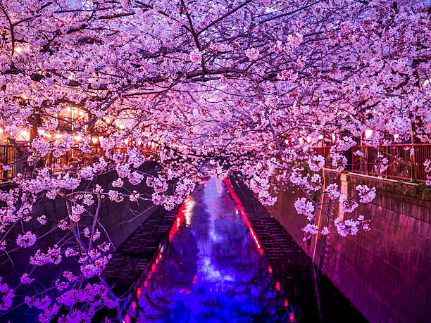 Sakura avenue stock photo