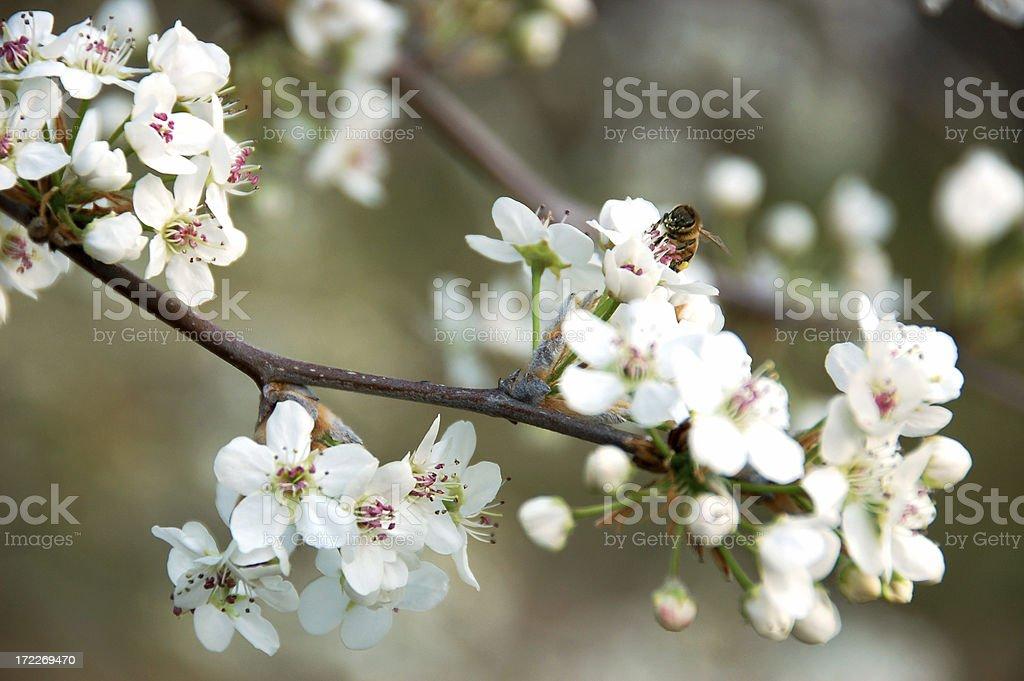 sakura bee royalty-free stock photo
