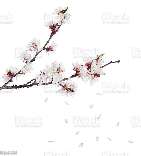 Sakura blooms on dark branches and falling petals picture id505896344?b=1&k=6&m=505896344&s=612x612&h=pz5yclp14zbjrj3lo oxyz3lexe 2 vvp9jltwga8wq=