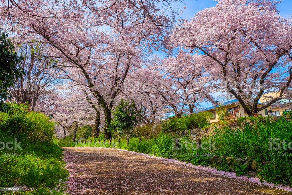 Sakura Blüte Blüte in japan – Foto