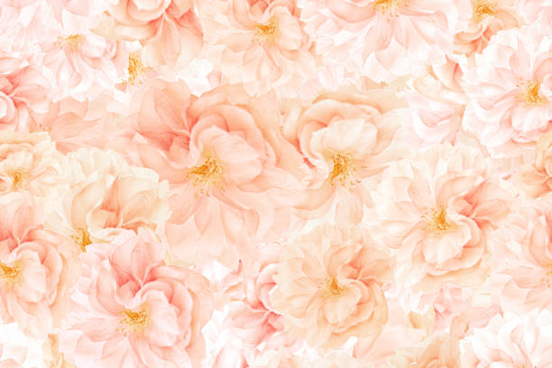 Sakura blossoms background stock photo