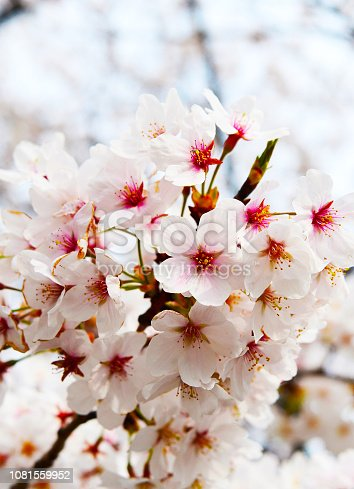 660303034 istock photo Sakura blossoms 1081559952
