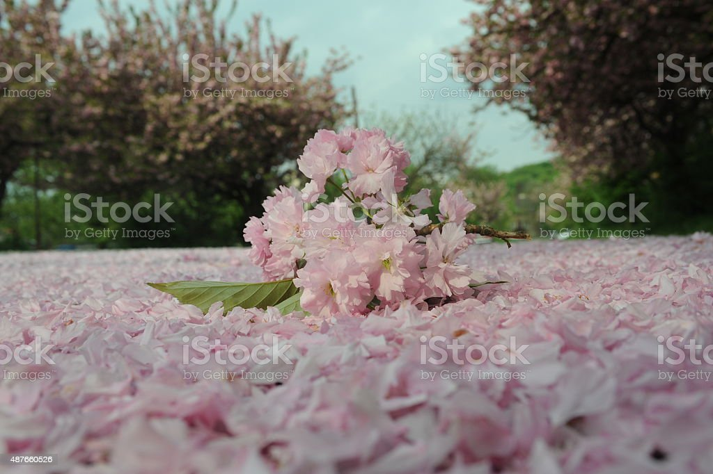 Sakura bouquet on ground stock photo