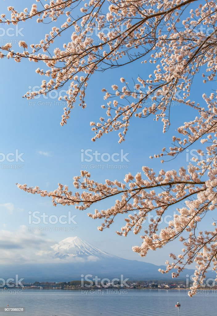 Sakura cherry blossom and Mt. Fuji stock photo