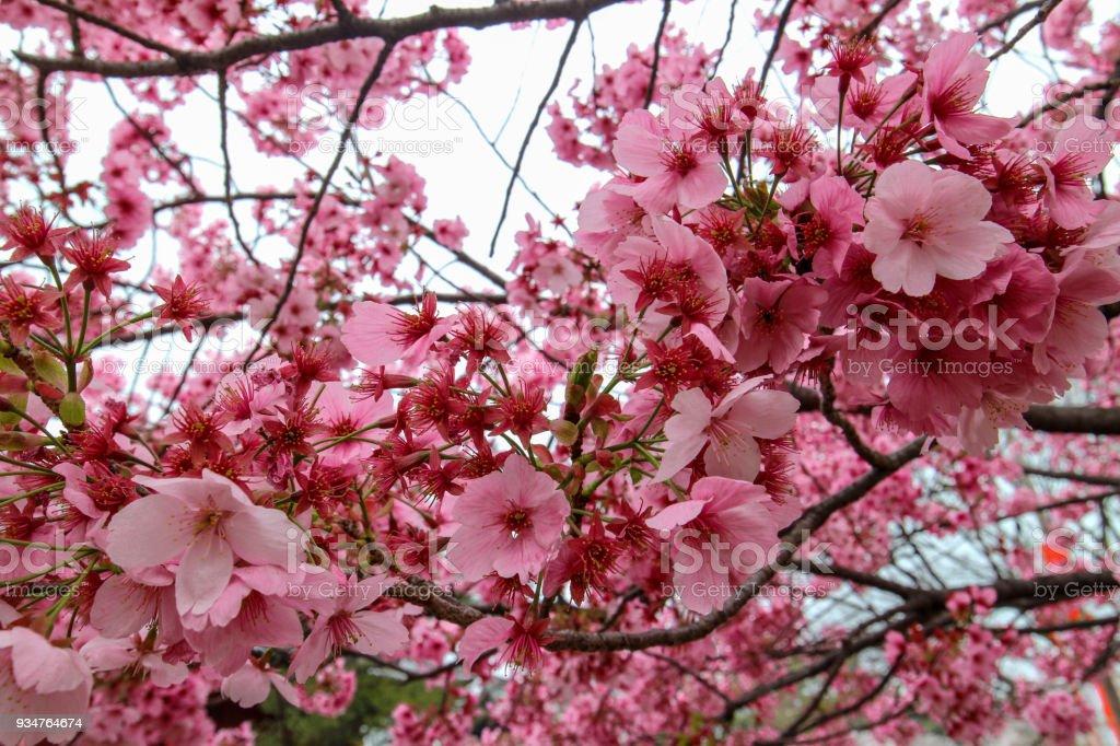 Sakura cherry blossom leaves stock photo