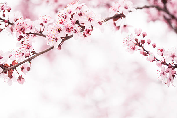 Royalty free cherry blossom pictures images and stock Cherry blossom pictures