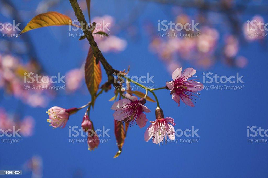 Sakura, Cherry Blossom royalty-free stock photo
