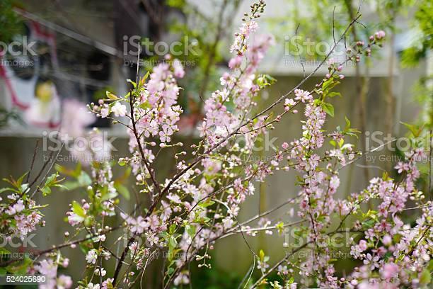 Sakura cherry blossom picture id524025690?b=1&k=6&m=524025690&s=612x612&h=x2kj7u2tad0jccszpiijcpqastrcxzl h7tktepaqmg=