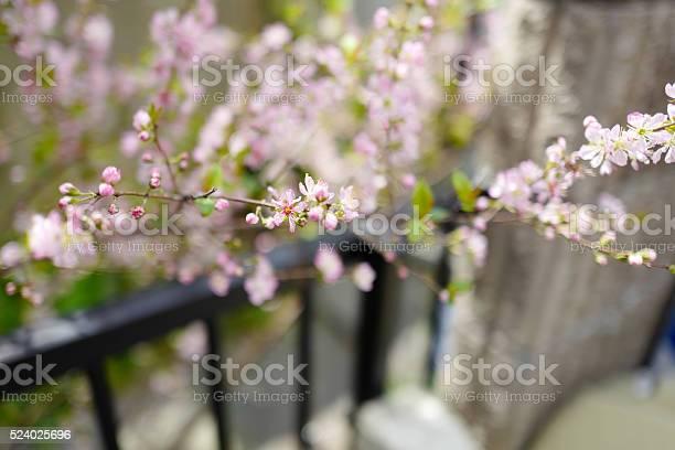 Sakura cherry blossom picture id524025696?b=1&k=6&m=524025696&s=612x612&h=ozmd 5pu0umvvdggcdm1c62ogtrzszjzng1kozjozcu=