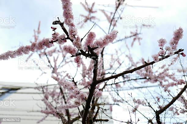 Sakura cherry blossom picture id524025712?b=1&k=6&m=524025712&s=612x612&h=dis13fnmrh7hfzgbu7lmxfyxbbwce0zkfcoiaagsxpg=