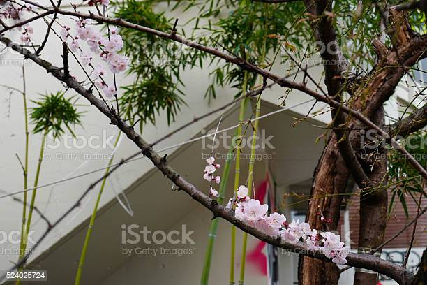 Sakura cherry blossom picture id524025724?b=1&k=6&m=524025724&s=612x612&h=te6keldido7alboz ncd5igcvvjdehjku7mbwazoji4=