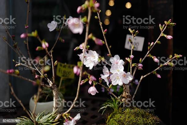Sakura cherry blossom picture id524025762?b=1&k=6&m=524025762&s=612x612&h=5jzpik7rmgjdpnh qdeqooed z9lpju7tliygom bk0=