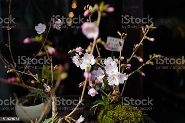 Sakura cherry blossom picture id524025764?b=1&k=6&m=524025764&s=612x612&h=ynuwzqsc4woahevwtzvzvzsh6ka2srcgquwjk7djxua=