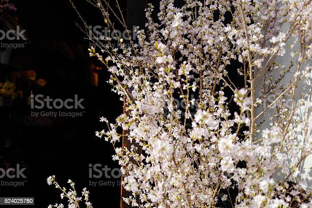 Sakura cherry blossom picture id524025780?b=1&k=6&m=524025780&s=612x612&h=e8c5wz9zbo4haltpowth0dqbbngk8y2ub9klu2cnliw=
