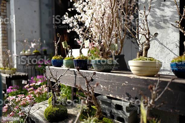 Sakura cherry blossom picture id524025838?b=1&k=6&m=524025838&s=612x612&h=stokck9jmk9erqx 9b4rbiym0hhejwmbdiu1sk 6p3m=