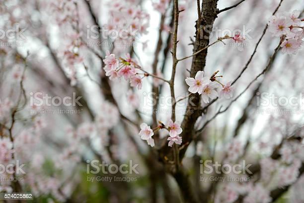 Sakura cherry blossom picture id524025862?b=1&k=6&m=524025862&s=612x612&h=vuba5k7264zwyswjgufiskxtfv1i0ovwtqzhwlxmg8i=