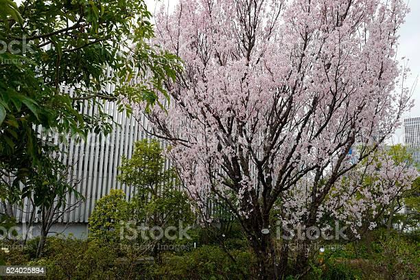 Sakura cherry blossom picture id524025894?b=1&k=6&m=524025894&s=612x612&h=m9bwsaa7txvwdwplxj2lck8fblvyydbf1 rj htkxu8=