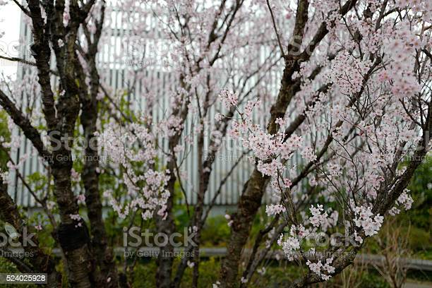 Sakura cherry blossom picture id524025928?b=1&k=6&m=524025928&s=612x612&h=zin bkwg0zhwzx0opkgnmomcgyyz6cfjwvbs3lgbu00=