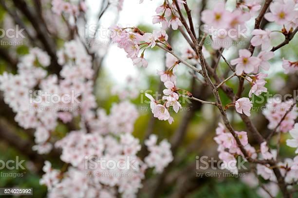 Sakura cherry blossom picture id524025992?b=1&k=6&m=524025992&s=612x612&h=0t57b35tat80opp3n2deixwim32vqccq7ghosohe80s=