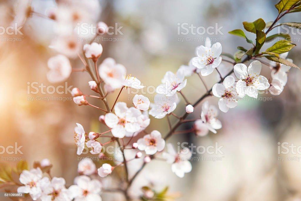 Sakura Kirsche Blüte – Foto