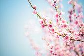 istock Sakura Cherry Blossom 642014428