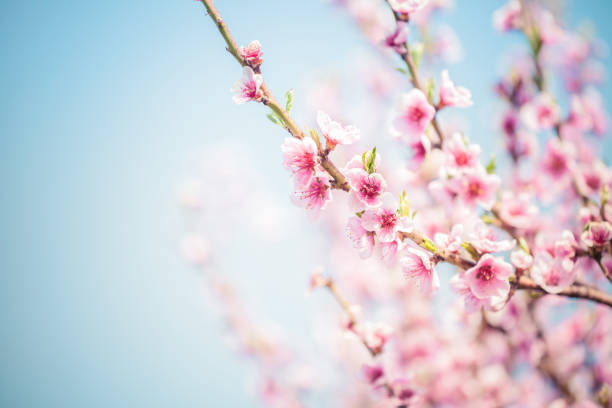 sakura cherry blossom - blossom stock pictures, royalty-free photos & images