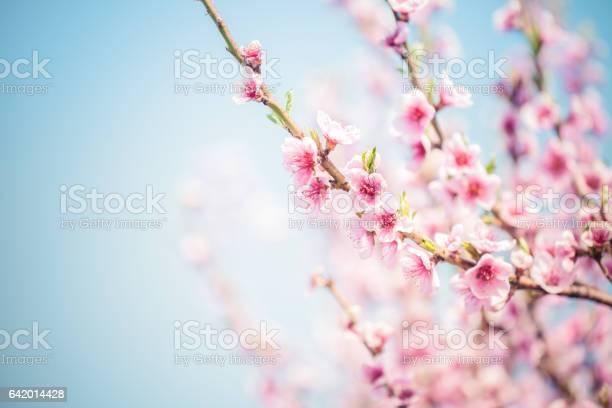 Photo of Sakura Cherry Blossom