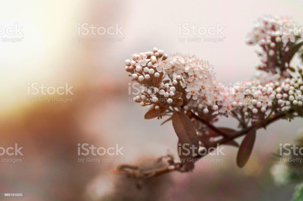 Sakura Cherry Blossom zbiór zdjęć royalty-free