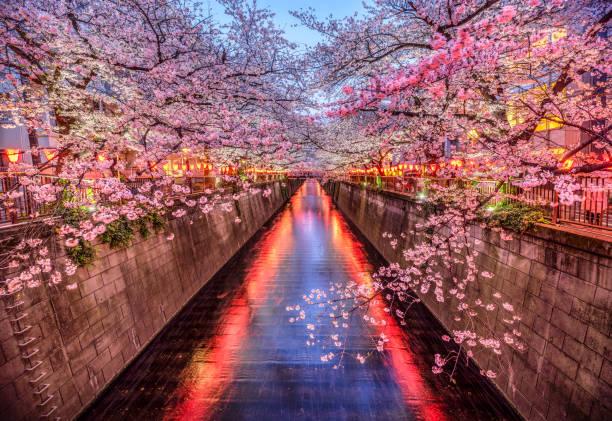 sakura cherry blossom season in meguro river at dusk, tokyo. Japan stock photo