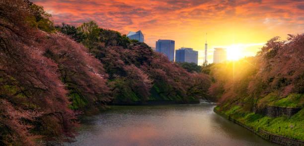 Sakura Kirschbaum im Kitanomaru Garten, Tokio, Japan. Sonnenuntergang Landschaft. – Foto