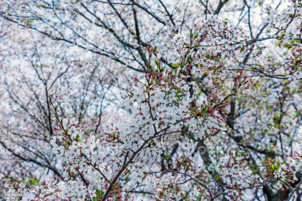 Sakura Cherry Blossom Tree In Gongendo Park Japan Stock Photo More