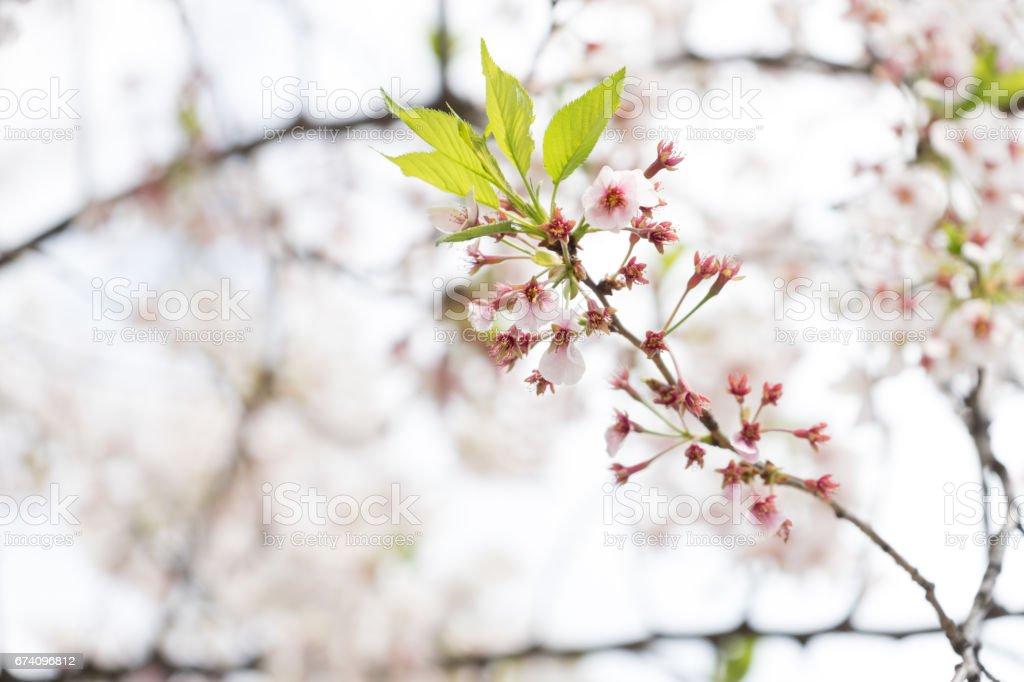 sakura cherry blossom tree japan branch colorful royalty-free stock photo