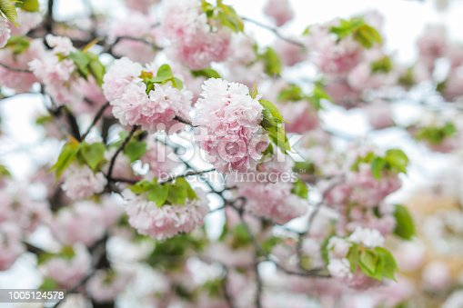 istock Sakura. Cherry blossoms japan. Pink spring blossom background. 1005124578