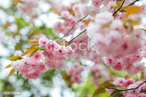 istock Sakura. Cherry blossoms japan. Pink spring blossom background. 1005124596
